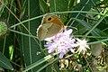 Meadow brown (Vol) (35724523422).jpg