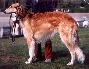 Borzoi - Borzoi, red coat