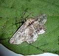 Menophra japygiaria^ Worn specimen - Flickr - gailhampshire.jpg