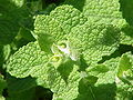 Mentha rotundifolia0.jpg