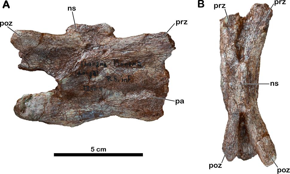Meroktenos caudal vertebra