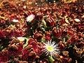 Mesembryanthemum crystallinum or La barrilla.jpg