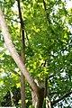 Metasequoia glyptostroboides 7zz.jpg