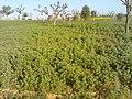 Methi Ke Khet - panoramio.jpg