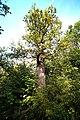 Methusalem-Eiche2 Klosterwald Maria Eich.jpg