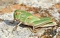 Migratory Locust (Locusta migratoria) nymph ... (44444458721).jpg