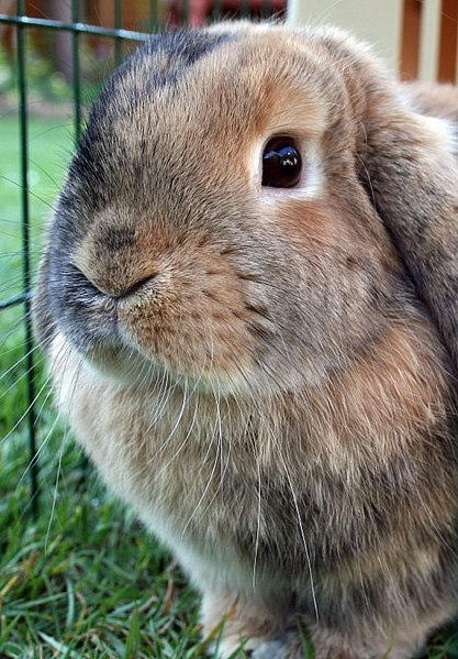 Brown and grey-black floppy-eared rabbit. File:Mini lop.jpg