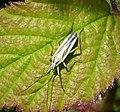 Miridae - Leptopterna dolabrata, adult male. Meadow Plant Bug (46108151632).jpg