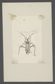 Miris - Print - Iconographia Zoologica - Special Collections University of Amsterdam - UBAINV0274 041 01 0003.tif