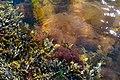 Mixed algae on the stone quay in Govik 2.jpg