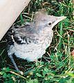 Mockingbird Chick003.jpg