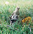 Mockingbird Feeding Chick031.jpg