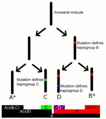 Human Y-chromosome DNA haplogroup - Wikipedia