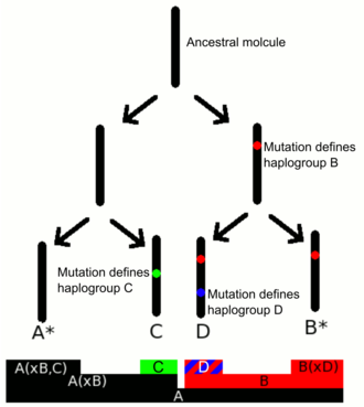 Human Y-chromosome DNA haplogroup - Schematic illustration of Y-DNA haplogroups naming convention. Haplogroups are defined through mutations (SNPs).
