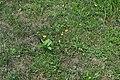 Monarch on milkweed 4 (292d9e4e-3ed4-4eca-a530-4bb708c23809).JPG