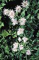 Monarda fistulosa flowers.jpg