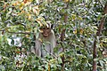 Monkey in a tree (7568240278).jpg