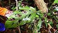 Monstera adansonii Schott var. klotzschiana (Schott) Madison (10722723765).jpg