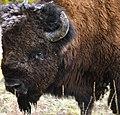 Montanabuffalo.jpg