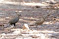 Montezuma Quail (male & female) South Fork Cave Creek AZ 2015-07-03at12-28-452 (33930787938).jpg