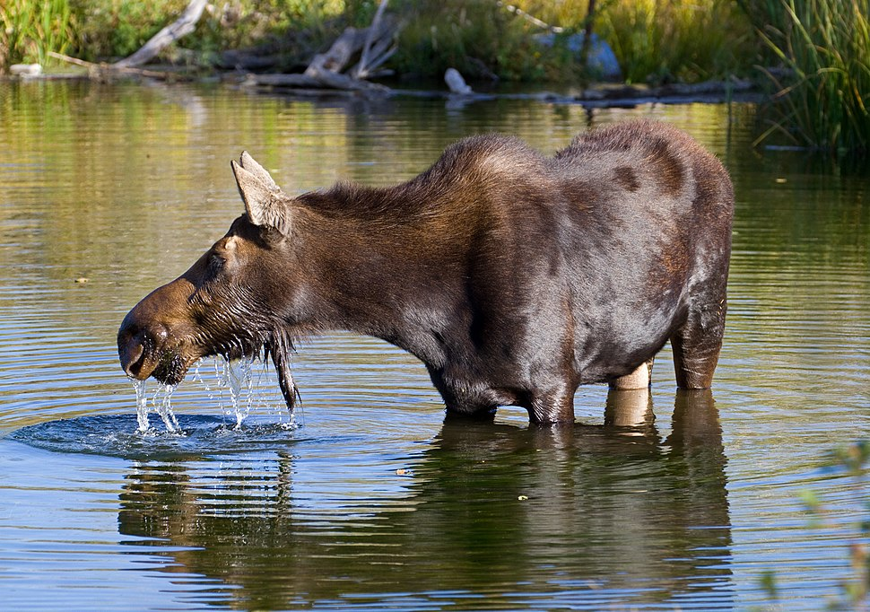 Moose in Grand Teton National Park 2 (7994780433)