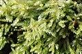 Moss - Brachythecium sp. (^) - panoramio.jpg