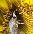 Moth on Sunflower (201493539).jpg