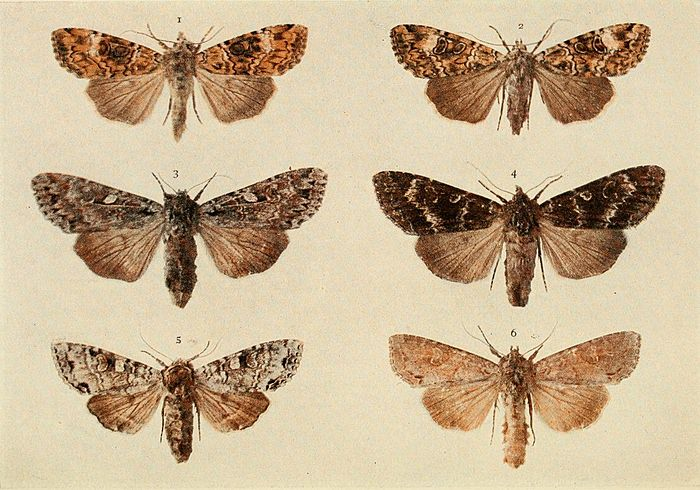 Moths of the British Isles Plate117.jpg