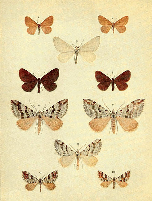 Moths of the British Isles Series2 Plate055.jpg
