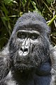 Mountain gorilla (Gorilla beringei beringei) 24.jpg