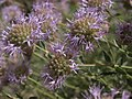 Mountain mint, Monardella odoratissima subsp. glauca (24698054397).jpg