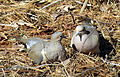 Mourning Doves Cooing Backyard Birds.jpg