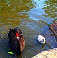 Mrs swan and baby.jpg
