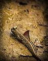 Mud scipper.jpg
