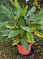 Musa textilis in Jardin des Plantes de Toulouse 01.jpg