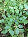 Mustikka (Vaccinium myrtillus), lehdet ja marja.jpg