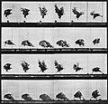 Muybridge, Eadweard - Nahe der Erde fliegender Adler (0.21 Sekunden) (Zeno Fotografie).jpg