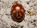 Myrrha octodecimguttata 63115184.jpg