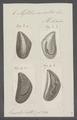 Mytilus exustus - - Print - Iconographia Zoologica - Special Collections University of Amsterdam - UBAINV0274 076 01 0006.tif