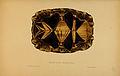 N62 Sowerby & Lear 1872 (astrochelys radiata).jpg