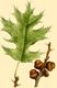 NAS-024g Quercus velutina.png