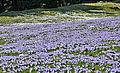 NP-By-OA-Allg.Nagelfluhkette-Hündle-Krokuswiese 11.04.14-NL2.jpg