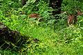 Nagarhole National Park, Kodagu 6894.JPG