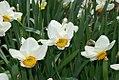 Narcissus Doctor Hugh 0zz.jpg