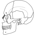 Nasal Bone Simple.png