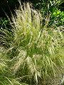Nassella tenuissima.jpg