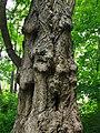 Naturdenkmal alter Gingkobaum Levinpark zu Göttingen.jpg