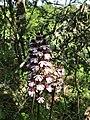 Naturschutzgebiet Maasberg Wilde Orchidee 02.jpg