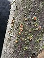 Nectria cinnabarina 58635407.jpg