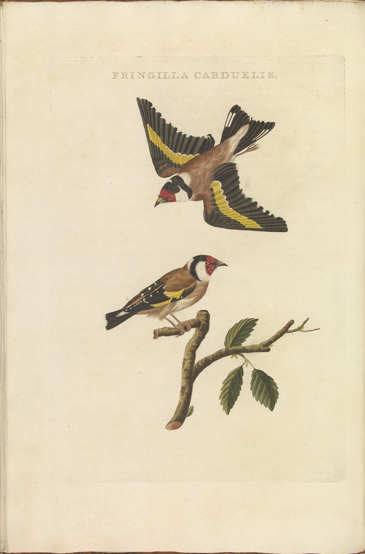 Nederlandsche vogelen (KB) - Carduelis carduelis (328b)